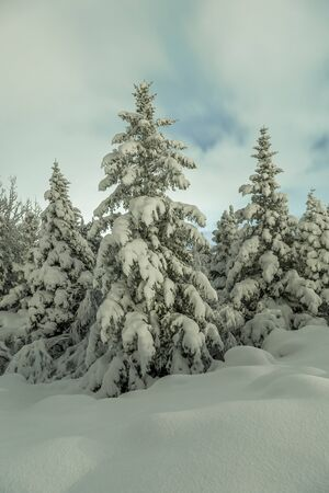 heavy snow: Spruce trees covered with snow after a heavy snowfall the night before. Stock Photo