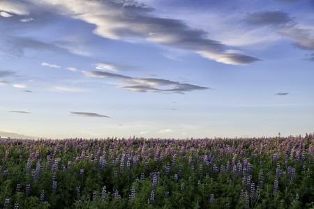 dramatic skies over a lupine flower field in Iceland at sunset in summer