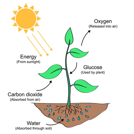 Photosynthesis process illustration  イラスト・ベクター素材