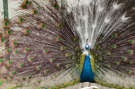 Peacock with spread feathers Stock Photo