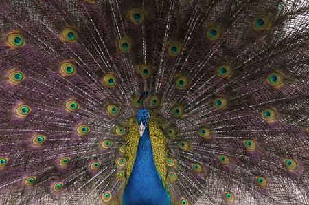 Indian blue peacock with spread feathers Stock Photo - 97150123