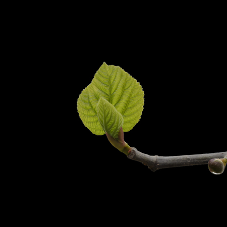 Fresh backlit green leaf bud isolated on black background
