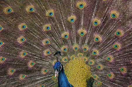 Indian blue peacock with spread plumage