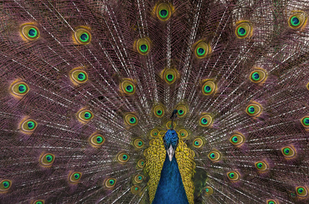 Indian blue peacock with spread feathers Stock Photo - 97288229