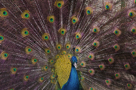 Indian blue peacock with spread feathers Stock Photo