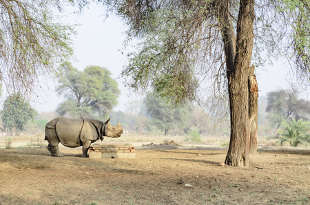 Indian rhinoceros in Bahawalpur National Park Pakistan