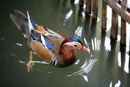 mandarin: Mandarin duck