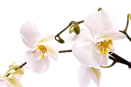 orchid branch: White fresh orchid isolated on white background