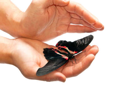Beautiful black and red butterfly in hands. Isolated on white Stock Photo - 8152599