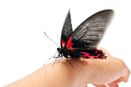 Black and red butterfly on man's hand. In motion Stock Photo - 8152531
