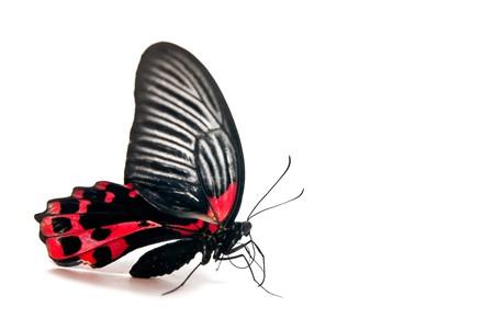 femme papillon: Papillon rouge et noir isol� sur fond blanc