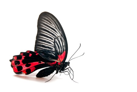 fanned: Red and black butterfly isolated on white background Stock Photo