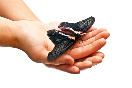 Beautiful black and red butterfly in hands. Studio shot Stock Photo - 8152563