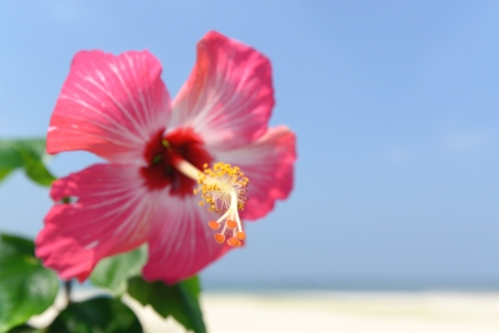 Hibiscus flower in Okinawa photo