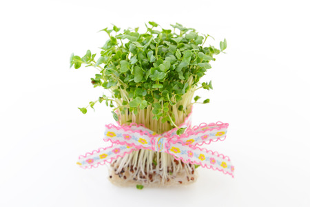 Radish sprouts 写真素材