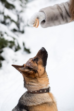 obedient: Obedient German Shepherd dog asking for food in winter Stock Photo