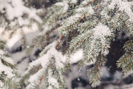 wildwood: Snowfall and rime on spruce closeup background
