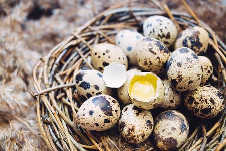 quail nest: Nest of twigs with quail eggs on closeup