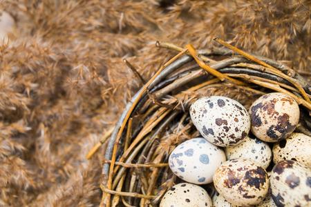 huevos de codorniz: Nido de ramitas con huevos de codorniz en el primer de
