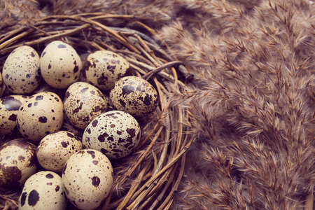 quail nest: Nest from twigs with quail eggs on closeup Stock Photo