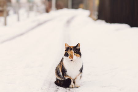 redheaded: Beautiful black and red-headed cat sitting at the snowy road and looking at camera in winter, copy space