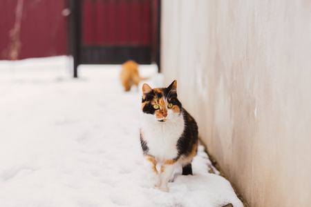 roofless: Beautiful fluffy red-headed cat standing beside the snowy road outdoor in winter, copy space Stock Photo