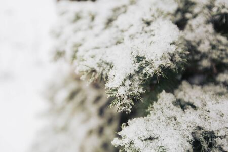 wildwood: Snowfall and rime on spruce closeup background, copy space Stock Photo