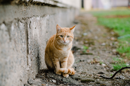 redheaded: Beautiful red-headed cat sitting at the house and looking at camera, copy space