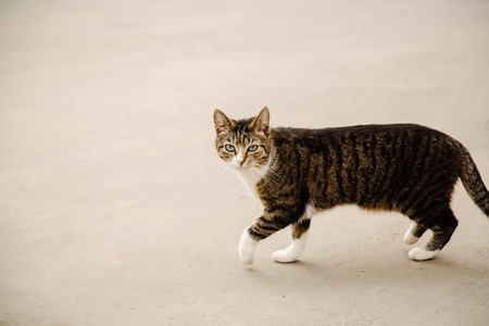 roofless: Beautiful proud cat walking in the street and looking at camera on grey background, copy space