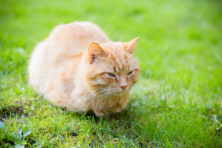 redheaded: Beautiful sleepy red-headed cat sitting on the grass outdoor in summer, copy space