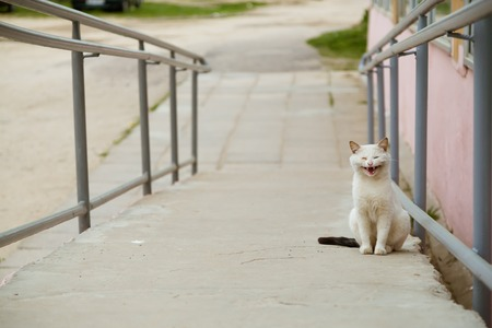 meowing: Beautiful sick white cat meowing and looking at camera