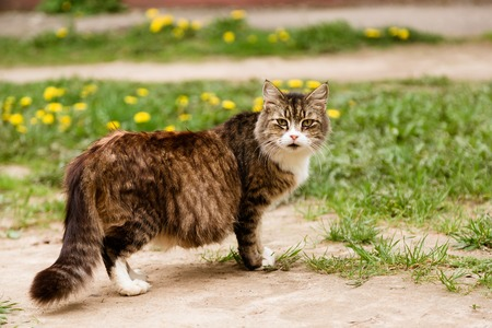 roofless: Beautiful pregnant cat walking in the field and looking at camera in summer Stock Photo