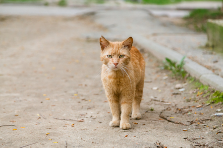 roofless: Beautiful red-headed stray cat walking at the street and looking at camera in summer Stock Photo