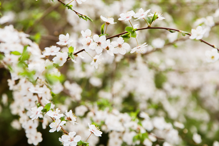 white blossom: White cherry blossom soft focus, background, springtime Stock Photo