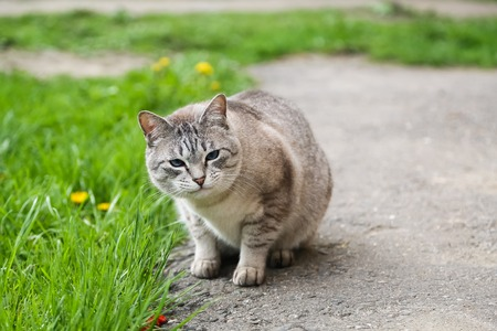 roofless: Domestic grey cat sitting on the grass and looking at the camera, copy space