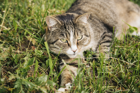 roofless: Lazy domestic grey cat lying at the meadow and looking at the camera Stock Photo