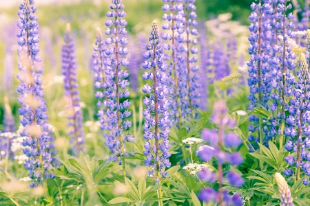 lupines: Blossoming purple lupines in meadow, floral summer background