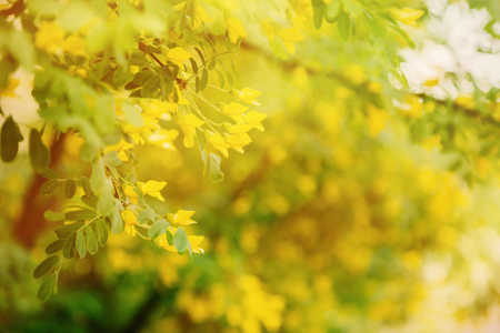 Green branch of caragana tree with yellow flowers Reklamní fotografie - 74937483