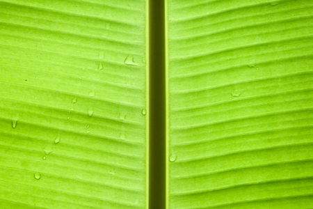 is green: banana leaf texture background Stock Photo
