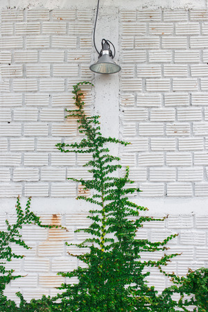ivy wall: White wall green ivy plant.