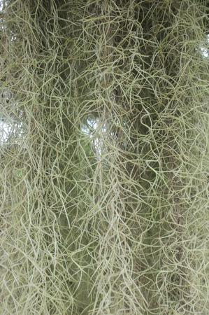 tillandsia: Spanish Moss background (Tillandsia usneoides)