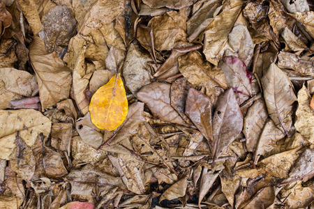 sear and yellow leaf: yellow leave on Dry leaves Stock Photo