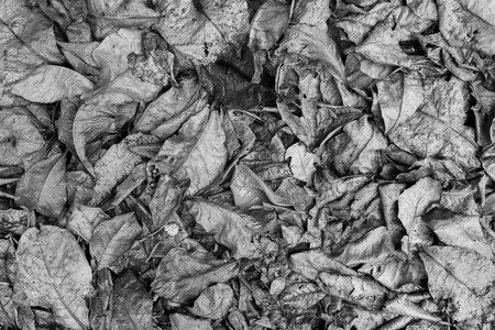 sear and yellow leaf: Dry leaves. black and white