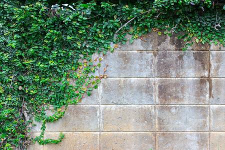edad de piedra: La planta de enredadera verde en una pared de ladrillo crea un fondo hermoso