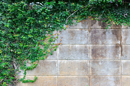 The Green Creeper Plant on a brick Wall Creates a Beautiful Background