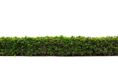 beautiful hedge fence isolated on white background