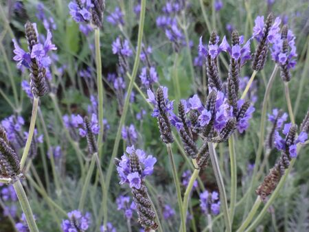 fragrant bouquet: lavender at garden . flower photo. Stock Photo