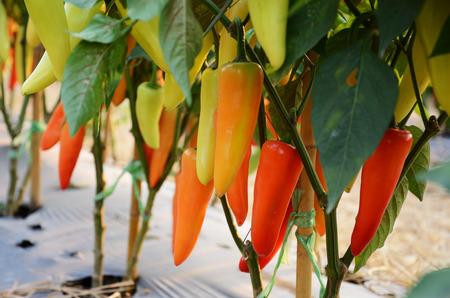 pungency: Hungarian pepper