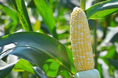 bicolor: Bi color corn ready for harvesting