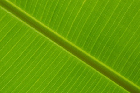 rin: Banana leaf texture with rim lighting showing fine texture